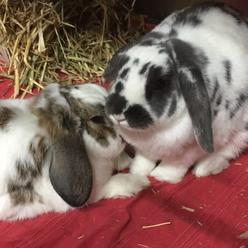 Jelly and Bean - Dwarf lop Rabbit