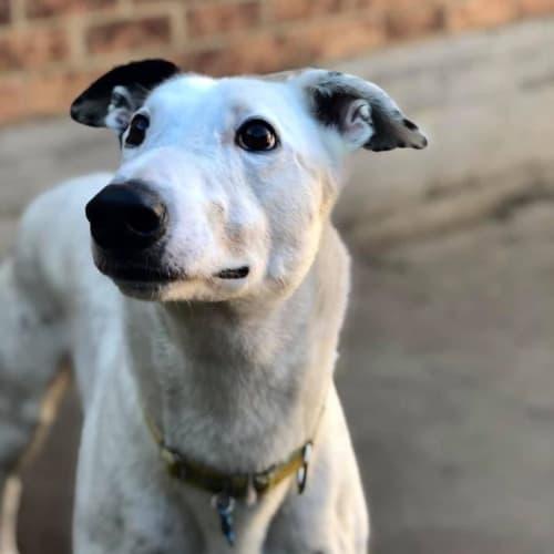 Lurch - Greyhound Dog