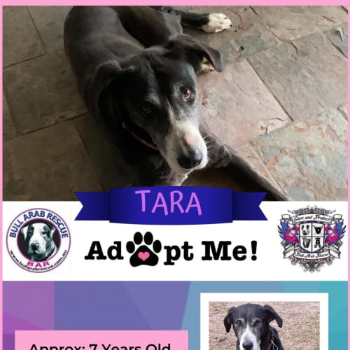 Tara - Bull Arab x Wolfhound Dog