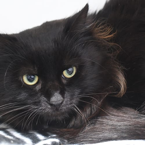 Denzel 8757 Campbelltown ACF  - Domestic Medium Hair Cat