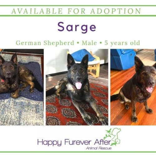 Sarge - German Shepherd Dog