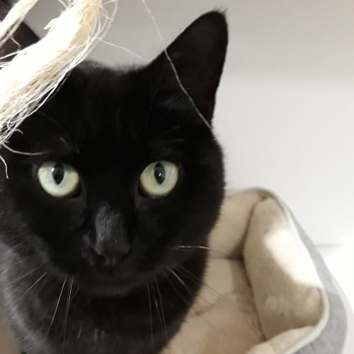 Kit Kat - Domestic Short Hair Cat