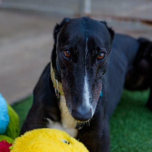 Norman - Greyhound Dog