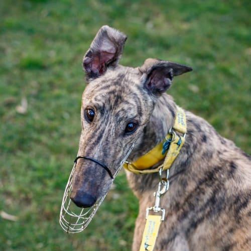 Ocean - Greyhound Dog