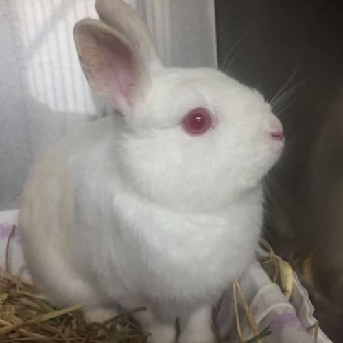 Gatsby - Netherland Dwarf Rabbit