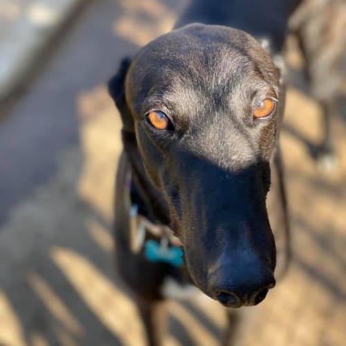 Tuxedo - Greyhound Dog