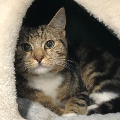 Nelson - Domestic Short Hair Cat