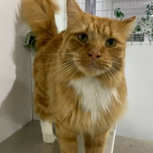 Chester - Domestic Medium Hair Cat