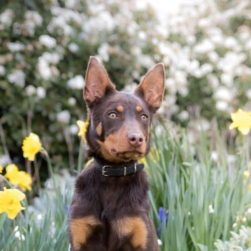 Rowdy - Kelpie Dog