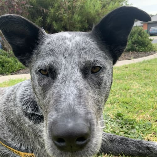 Dizzy - Australian Cattle Dog