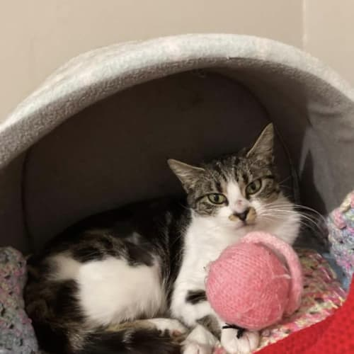 Harlow - Domestic Short Hair Cat