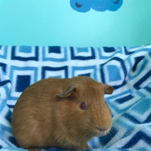 Chloe - Smooth Hair Guinea Pig