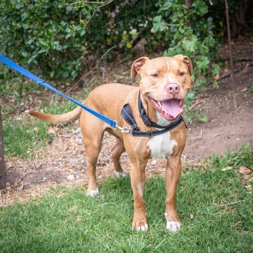 Diesel - American Staffordshire Terrier Dog