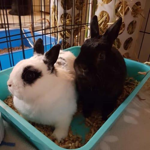 Bolt and Spotty - Netherland Dwarf Rabbit