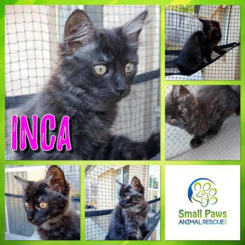 Inca - Domestic Short Hair Cat