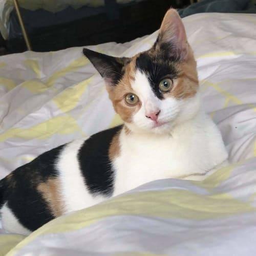 Annie 💫 - Domestic Short Hair Cat