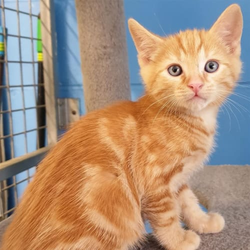 Melvin - Domestic Short Hair Cat