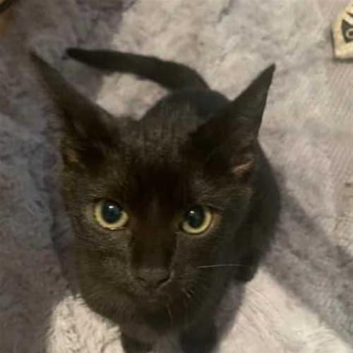 Leanne - Domestic Short Hair Cat
