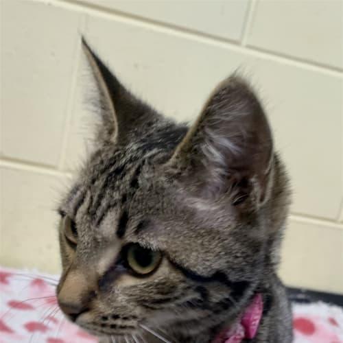 Mittens - Domestic Short Hair Cat