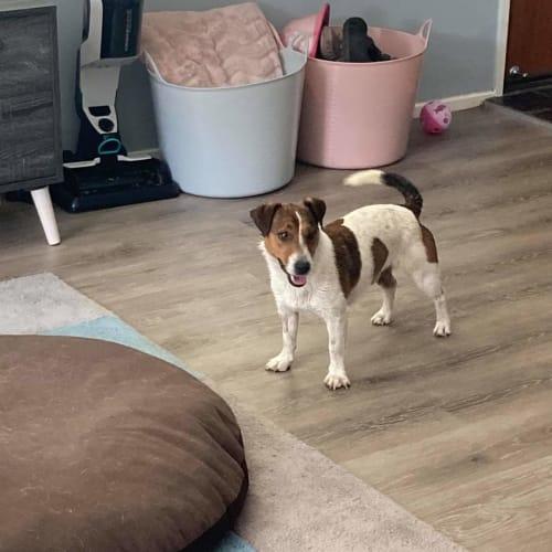Diesel - Parsons Jack Russell Terrier Dog
