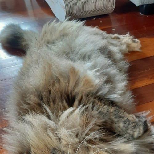Fifi - Domestic Long Hair Cat