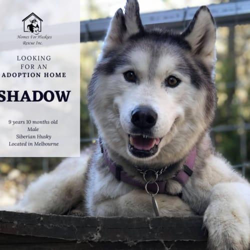 Shadow - Siberian Husky Dog