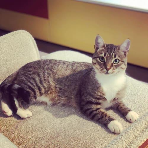 Miss Bessie - Domestic Short Hair Cat