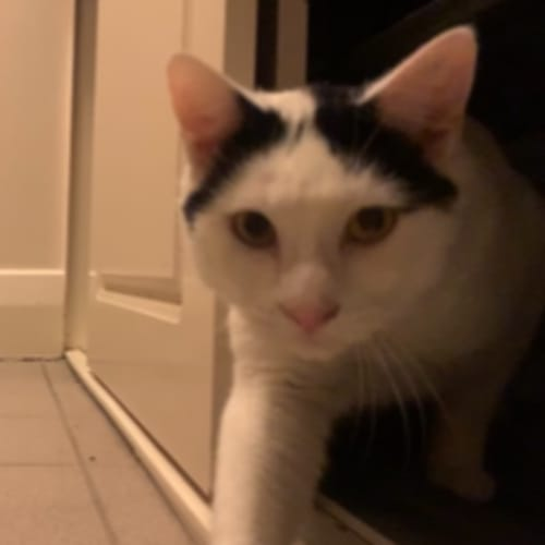 Freddie - Located in Brunswick - Domestic Short Hair Cat