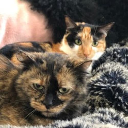 Lupa - Located in Northcote - Domestic Short Hair Cat