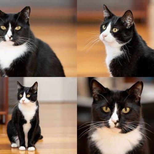 150/153 – Vinnie & Sebastian - Domestic Short Hair Cat