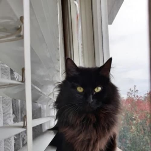 Tequila - Domestic Long Hair Cat