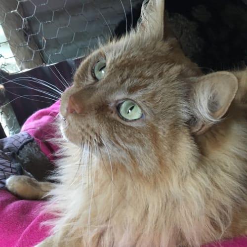 Maurice - Domestic Longhair Cat