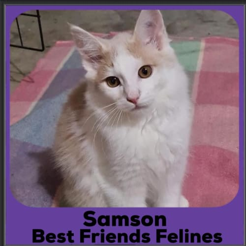 Samson  - Domestic Long Hair Cat