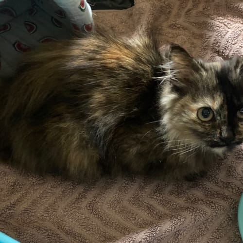C739 Cassie - Domestic Medium Hair Cat