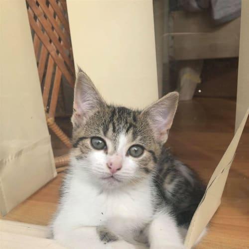 Little Honey - Domestic Short Hair Cat