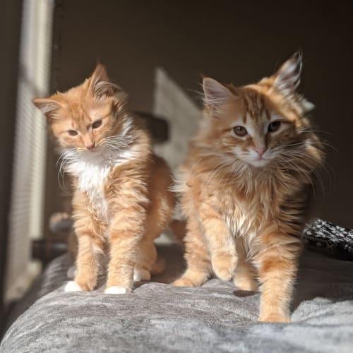 Emma and Isla - Domestic Medium Hair Cat