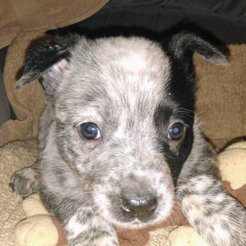 Addy - Cattle Dog