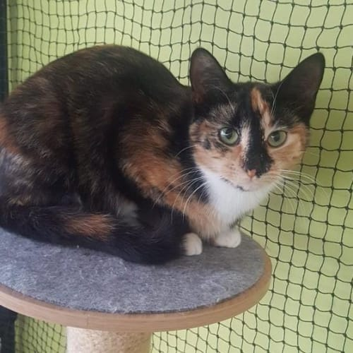 3383 - Mishka - Domestic Short Hair Cat