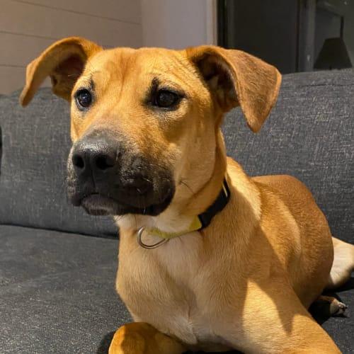 Manuka  - Kelpie Dog