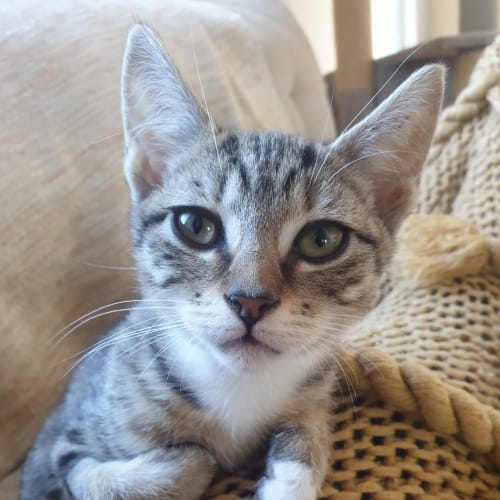Rhu - Domestic Short Hair Cat