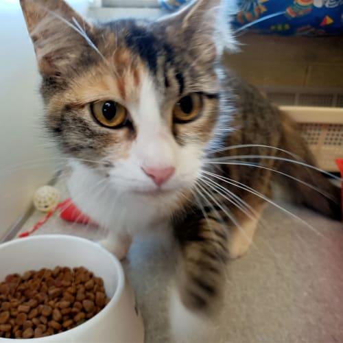 Dime - Domestic Medium Hair Cat