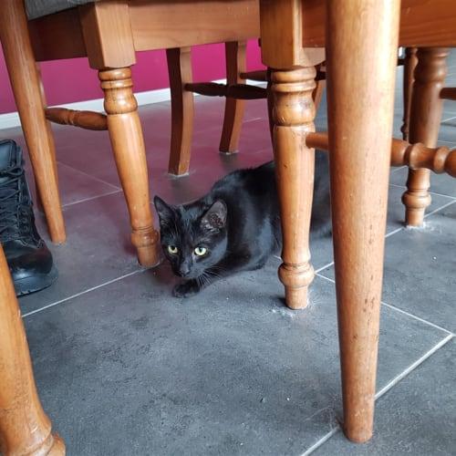 Betsy - Domestic Medium Hair Cat