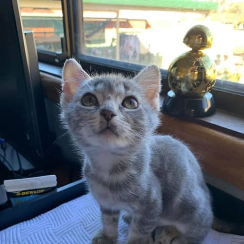 Squirt  - Domestic Short Hair Cat