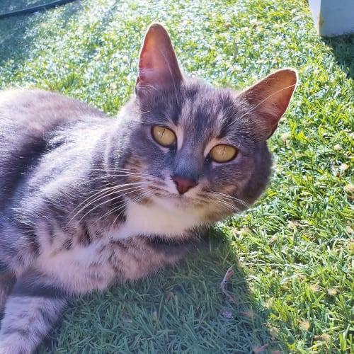 Ella - Located in Albert Park - Domestic Short Hair Cat