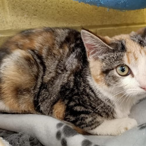 Furby  - Domestic Short Hair Cat