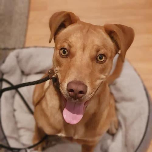 Coco DL2533 - Kelpie Dog