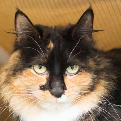 Rosie - Domestic Medium Hair Cat