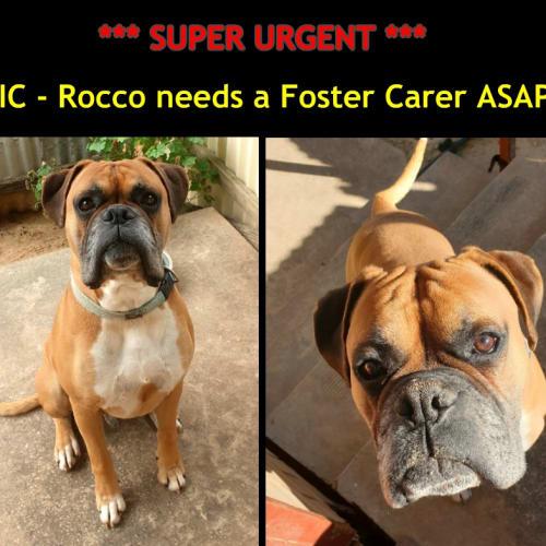 Rocco - Boxer Dog