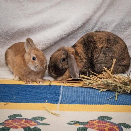 Belle - Dwarf Rabbit