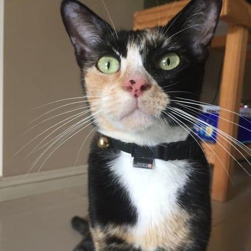 Harpy - Domestic Short Hair Cat